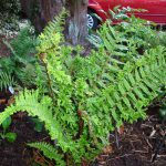 Our Own Pteridologist – an Introduction